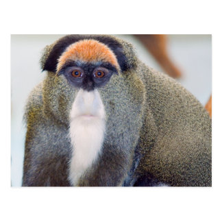 Monkey Stare L Postcard