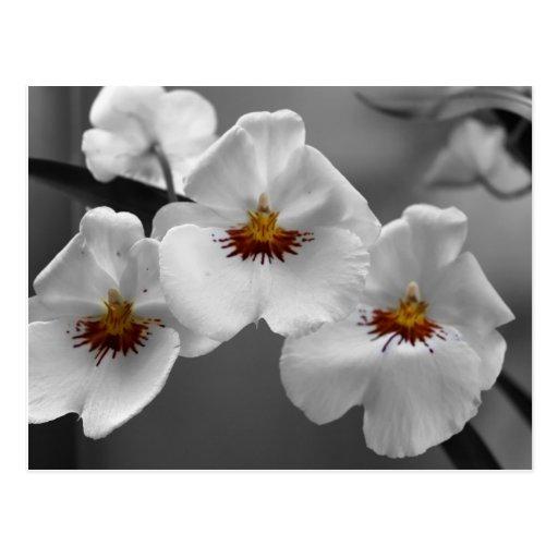 Monochrome Orchids Postcard
