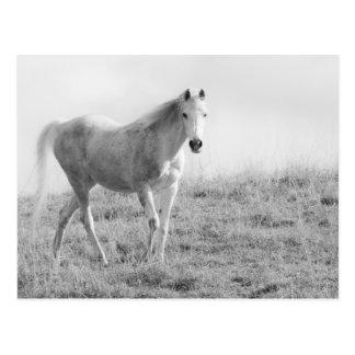 Monochrome white horse postcard