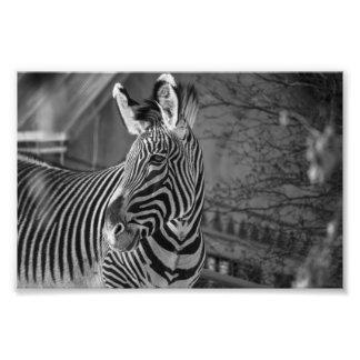 Monochrome Zebra Print Photo