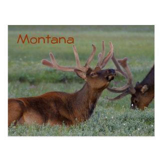 Montana elk postcard