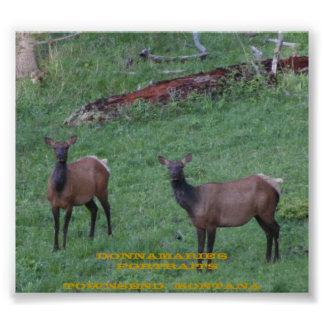Montana Elk Poster