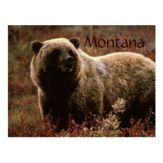 Montana grizzly bear postcard