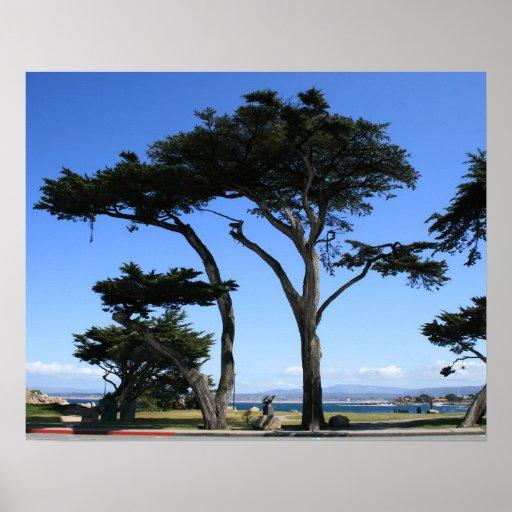 Monterey Cypress Tree, Coastline Photo Poster