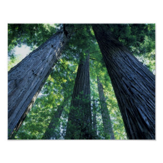 Montgomery Woods State Reserve, California. Poster