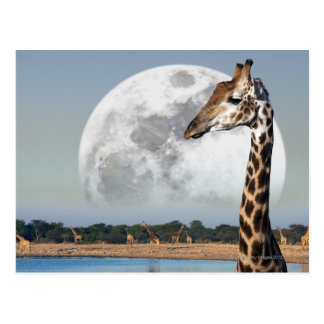 Moon rising over a group of Giraffe in Etosha Postcard