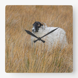 Moorland sheep photograph clock