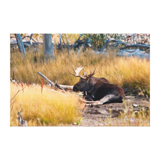Moose (Alces alces) Bull Bedded by Stream Canvas Print