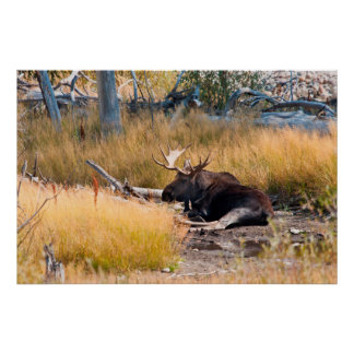 Moose (Alces alces) Bull Bedded by Stream Poster