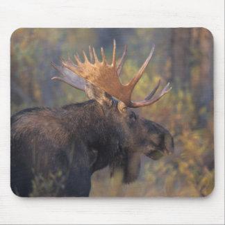 moose, Alces alces, bull in Grand Teton Mouse Pad