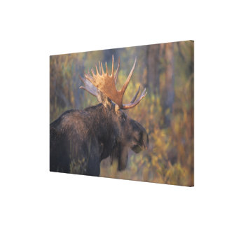moose, Alces alces, bull in Grand Teton Stretched Canvas Print