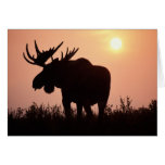 moose, Alces alces, bull with large antlers, Card