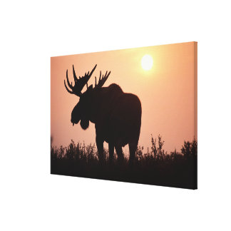 moose, Alces alces, bull with large antlers, Gallery Wrapped Canvas