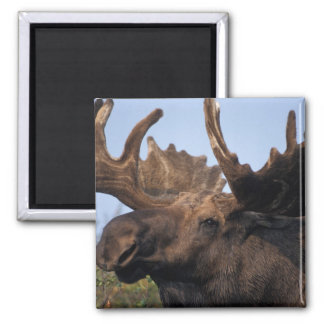 moose, Alces alces, bull with large antlers in 2 Magnet