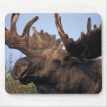moose, Alces alces, bull with large antlers in 2 Mouse Pad