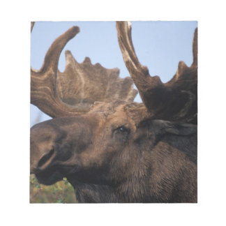 moose, Alces alces, bull with large antlers in 2 Notepads