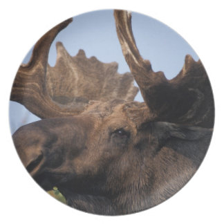 moose, Alces alces, bull with large antlers in 2 Plate