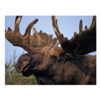 moose, Alces alces, bull with large antlers in 2 Postcard