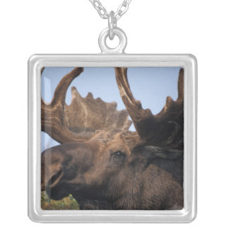 moose, Alces alces, bull with large antlers in 2 Silver Plated Necklace