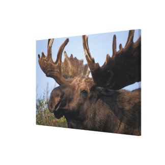 moose, Alces alces, bull with large antlers in 2 Stretched Canvas Prints