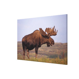 moose, Alces alces, bull with large antlers in Canvas Print
