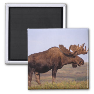 moose Alces alces bull with large antlers in Refrigerator Magnets