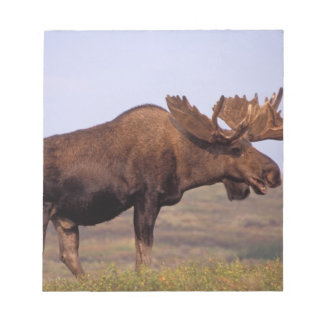 moose, Alces alces, bull with large antlers in Notepad