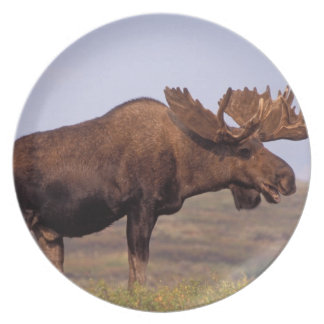 moose, Alces alces, bull with large antlers in Party Plates
