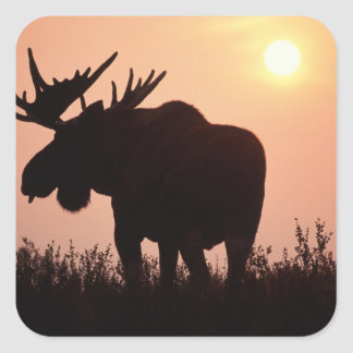 moose, Alces alces, bull with large antlers, Square Sticker