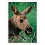 moose, Alces alces, calf lying in grass, Kenai Posters