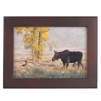Moose (Alces Alces) Cow In Sage Brush Keepsake Box