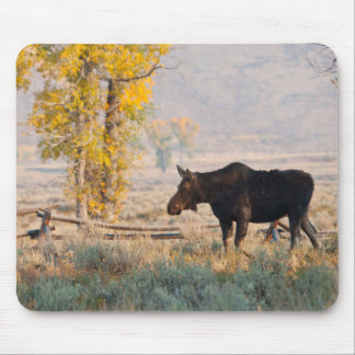 Moose (Alces Alces) Cow In Sage Brush Mouse Mat