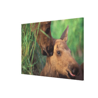 moose Alces alces cow with newborn calf Canvas Print