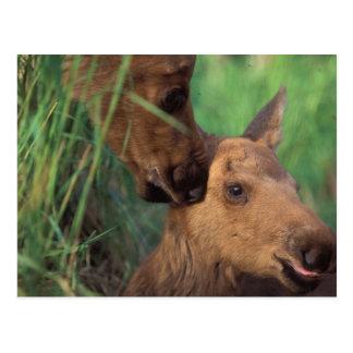 moose, Alces alces, cow with newborn calf, Postcard