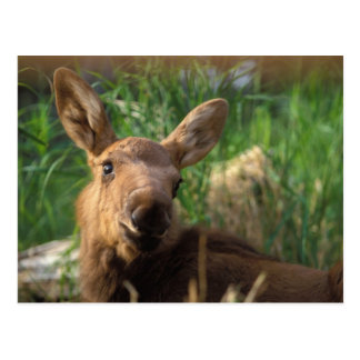 moose, Alces alces, newborn calf resting in Postcard