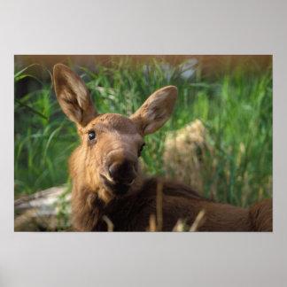 moose, Alces alces, newborn calf resting in Poster