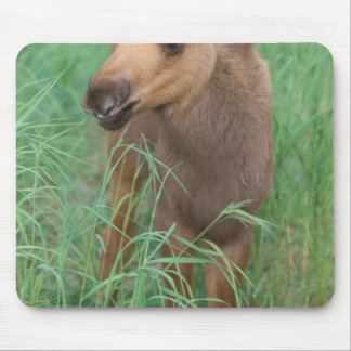 moose, Alces alces, newborn calf stands in 2 Mouse Mat