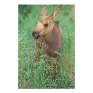 moose, Alces alces, newborn calf stands in 2 Photo Print