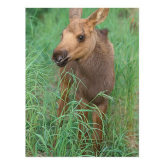 moose, Alces alces, newborn calf stands in 2 Postcard