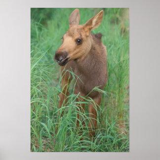 moose, Alces alces, newborn calf stands in 2 Poster