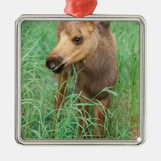 moose, Alces alces, newborn calf stands in Christmas Ornament