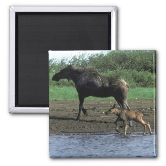 Moose and Calf Square Magnet