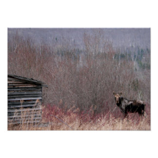moose and old house poster