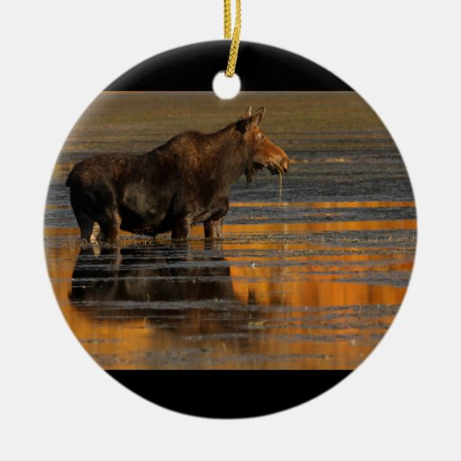 moose and reflections