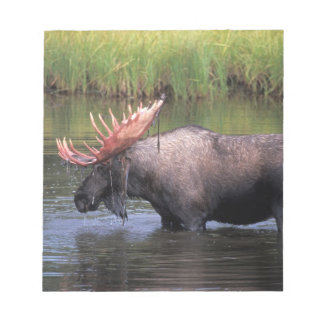 moose, bull in a kettle pond and feeds on notepad