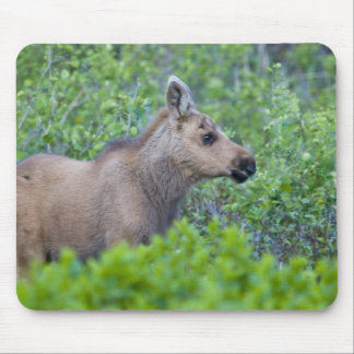 Moose calf in the Many Glacier Valley of Mouse Pad