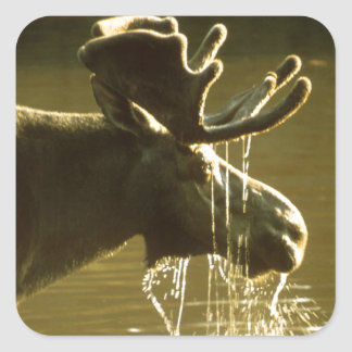 Moose Dipping His Head Into Water Square Sticker