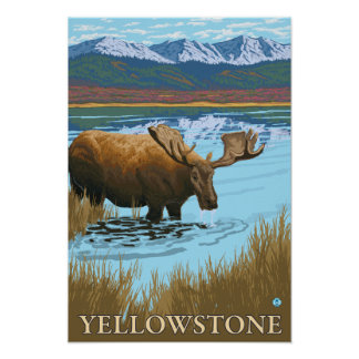 Moose Drinking at Lake - Yellowstone National Poster