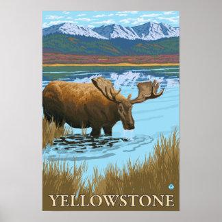 Moose Drinking at Lake - Yellowstone National Poster