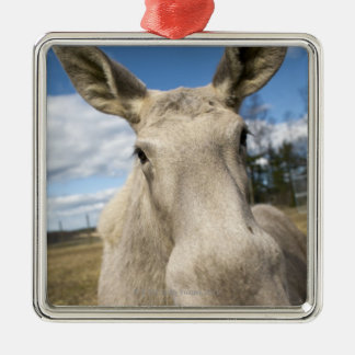 Moose on a field, Sweden. Christmas Ornament